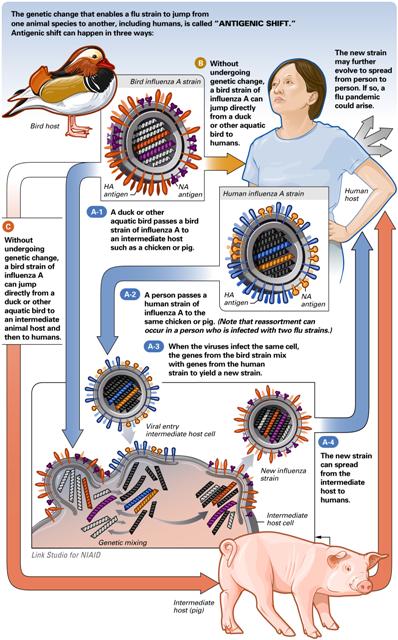 antigenic shift-kecil