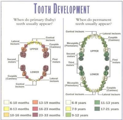 toothDevelopment